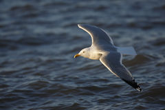 Herring Gull in flight. Herring Gull (Larus argentatus argentatus), adult in breeding plumage in flight over ocean at sunrise Stock Photo