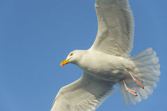 Herring Gull Royalty Free Stock Image