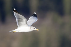 Herring gull in flight. Royalty Free Stock Photos