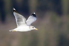 Herring gull in flight. Royalty Free Stock Photos
