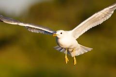 Herring gull flight Stock Image