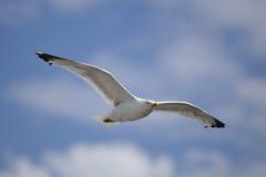 Herring Gull in flight Royalty Free Stock Image
