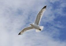 Herring Gull in flight Stock Photos