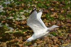 Herring Gull in flight Stock Photos