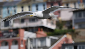 Herring Gull in flight Royalty Free Stock Images