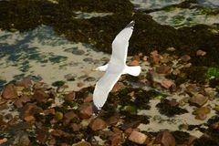 Herring Gull in flight over the coast Stock Photography