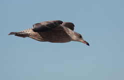Herring Gull. In flight photographed  food hunting on Galveston Beach Stock Image