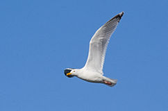 Herring gull in flight Royalty Free Stock Photography