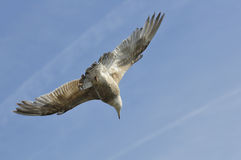 Herring gull in fly Royalty Free Stock Image