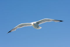 A herring gull flying in the blue sky Stock Image