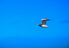 Herring gull flying in blue sky Royalty Free Stock Photo