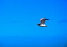 Herring gull flying in blue sky Royalty Free Stock Photo
