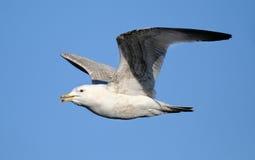 Herring Gull flying. Royalty Free Stock Images