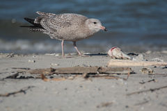 Herring Gull. On Galveston Bay having a meal of Fish Stock Image