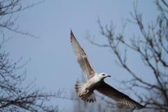 Herring gull gliding Stock Photography