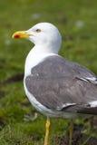 Herring gull Stock Photography