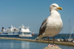Herring gull at the harbor entrance in Warnemünde. In the port of Warnemünde sits a seagull on a concrete pillar with ferry in the background royalty free stock photography