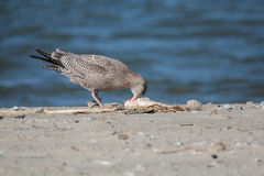 Herring Gull. Having a fish meal on Galveston Bay Royalty Free Stock Image