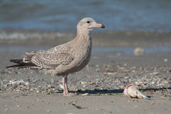Herring Gull. Having a fish meal on Galveston Bay Stock Photos
