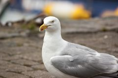 Herring Gull Head and Body Close Up. A Herring Gull Larus argentatus head and body on stone path Stock Images