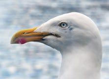 Herring Gull head. Stock Photography