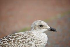 Herring Gull Royalty Free Stock Photos