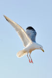 Herring Gull Hovering. A Herring Gull hovers in the late evening sunshine in Brighton Stock Image