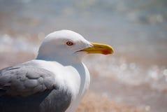 Herring Gull III stock image