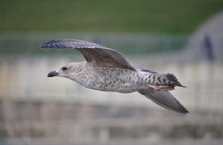 Herring gull in juvenile plumage Royalty Free Stock Images