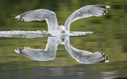 Herring gull. A herring gull are landing in the water with reflections stock photography