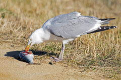 Herring Gull Royalty Free Stock Images