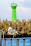 Herring gull; Larus argenataus Pontoppidan Royalty Free Stock Image