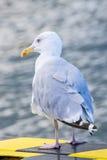 Herring gull, Larus argenataus Pontoppidan Stock Images