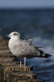 Herring Gull (Larus argentatus) Royalty Free Stock Images