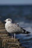 Herring Gull (Larus argentatus) Royalty Free Stock Images