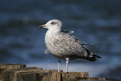Herring Gull (Larus argentatus) Stock Photo