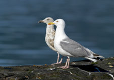 Herring Gull (Larus argentatus). Young and old herring gull Royalty Free Stock Photo