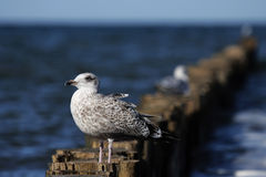 Herring Gull (Larus argentatus) Stock Photography