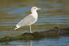 Herring gull / Larus argentatus Royalty Free Stock Images