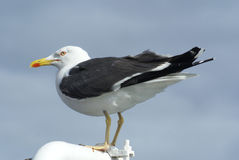 Herring Gull /  Larus argentatus Stock Photos