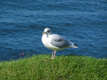 Herring Gull, Larus Argentatus Royalty Free Stock Photos