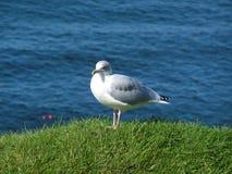 Free Herring Gull, Larus Argentatus Royalty Free Stock Photos - 2279018
