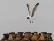 Herring gull Larus argentatus building nest on chimney stack Royalty Free Stock Photos