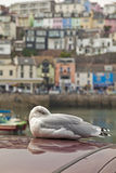 Herring Gull Larus Argentatus dozing on car. Herring Gull dozing on car with Brixham Harbour and town in the background Royalty Free Stock Photo