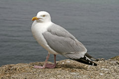 Herring Gull (Larus argentatus) from England Stock Photo