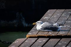 Herring Gull Larus argentatus with eyes closed perched on a boardwalk stock image