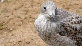 Herring Gull - Larus argentatus stock footage