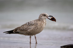 Herring Gull (Larus argentatus). Stock Photography