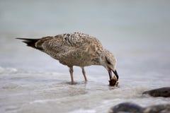 Herring Gull (Larus argentatus) Stock Image