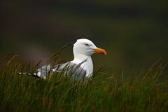 Herring gull, Larus argentatus, portrait of bird sitting in the green grass, animal in tje nature habitat, Helgoland, Germany Stock Image